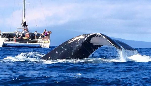 Alii-Nui-Whale-Watch-2