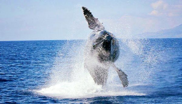 Alii-Nui-Whale-Watch-5